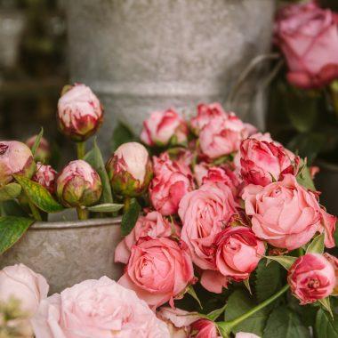 roze ruze u vazama